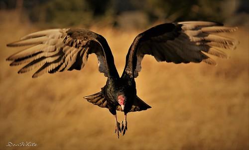 turkey buzzard