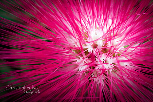 Mimosa Bloom at the Myriad Gardens in OKC, Oklahoma - 20170116CNP