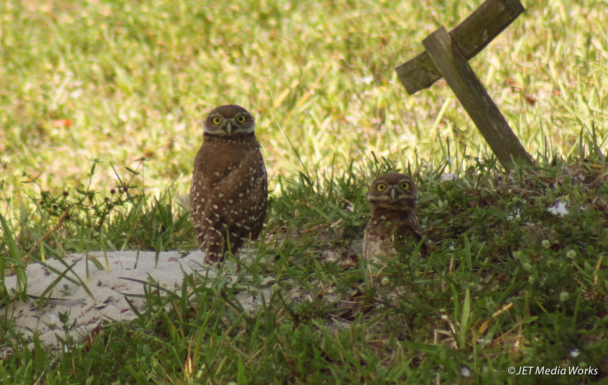 Burrrowing Owls