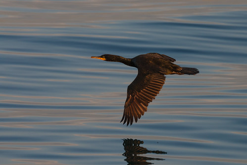 Great Cormorant over Velvet Sea | by aksoykaan1