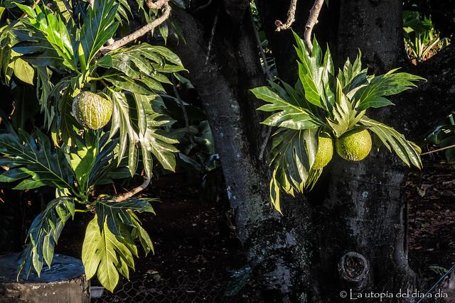 Fruta del pan utópico