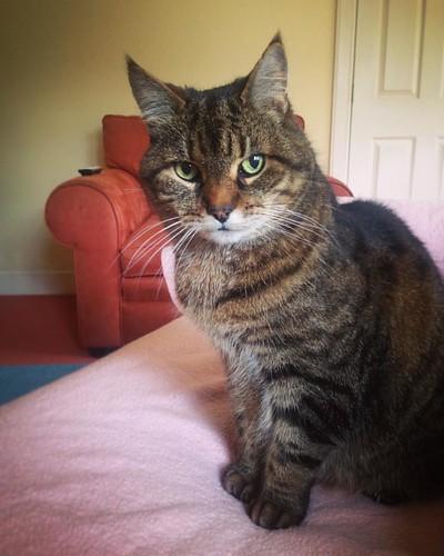 The most handsome of tabbies. @mrmikocat #tabbycat #wildcat #catsofinstagram