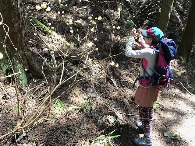 野登山 ミツマタの森 ミツマタ しな
