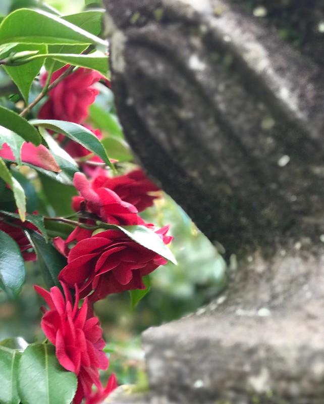 Red camellia.