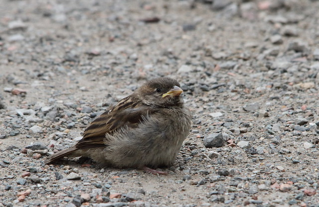 Juvenile Sparrows