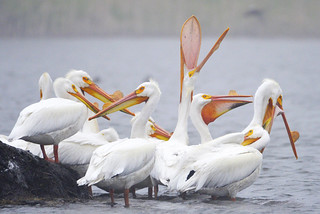 Pelicans Waking Up | by Buzz Hoffman