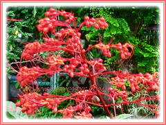 Captivating flowers of Clerodendrum paniculatum (Pagoda Flower, Orange Tower Flower, Hanuman Kireetam), 9 Nov 2011