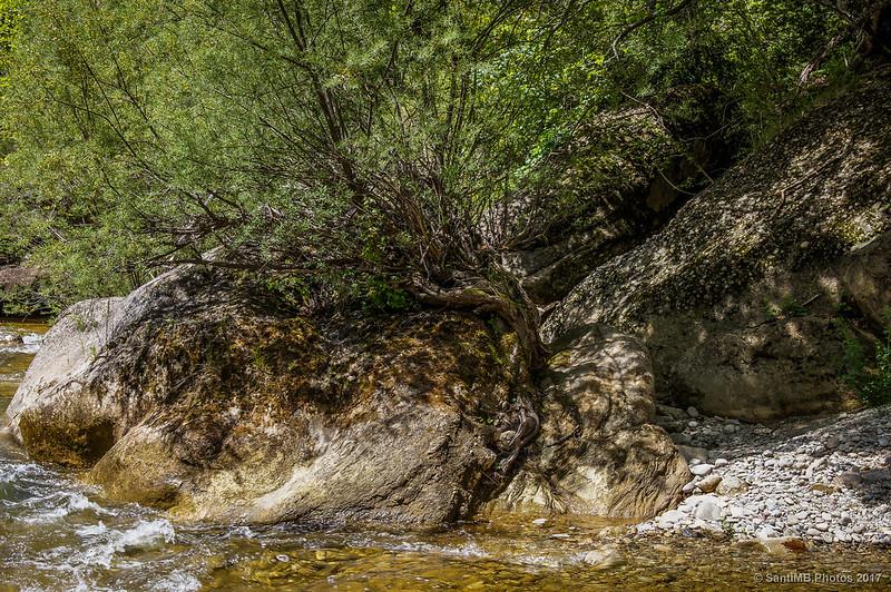 Un junípero en una orilla de la Riera de Merlès