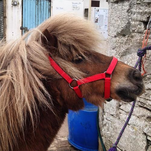 Bright the Shetland. ❤❤❤ . #shetlandpony #shetland #pony