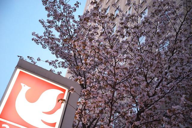 20170503札幌市中央区付近の桜_16