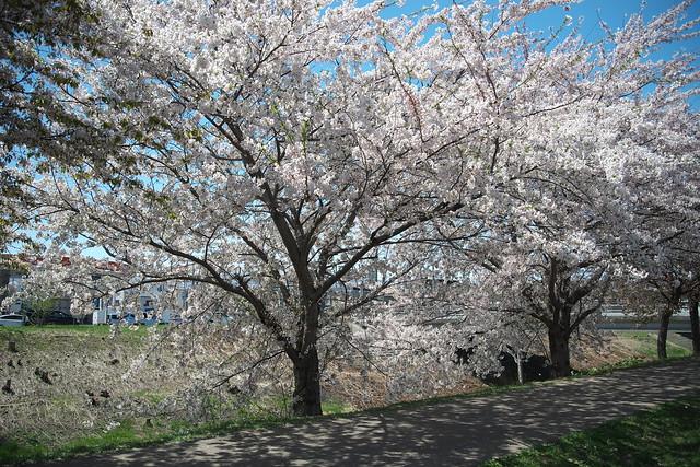 20170504新川さくら並木の桜_06