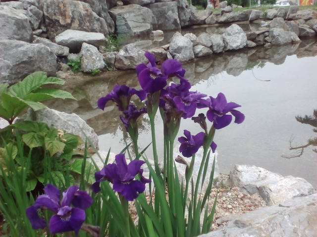 Japnese garden, Iris, perunika, 8.5. 2017.