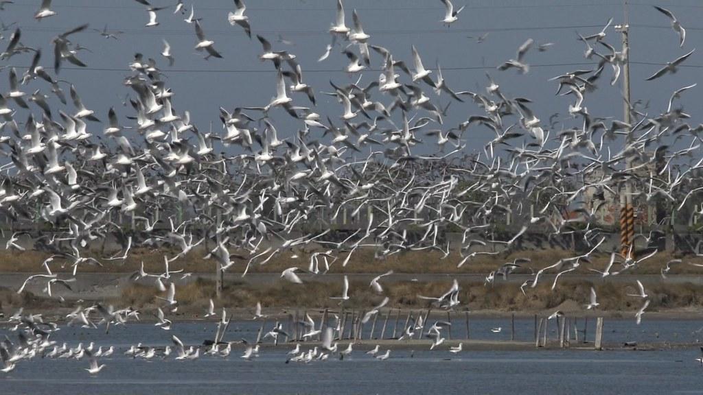 10區鹽田-紅嘴鷗