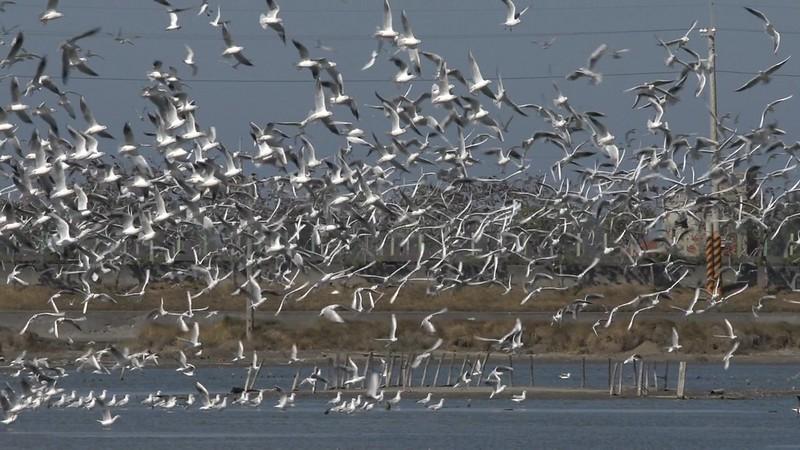 拍攝地點:十區鹽田,圖為紅嘴鷗。圖片提供:邱彩綢