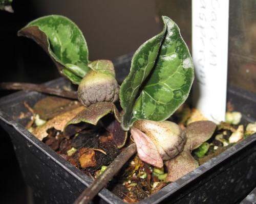 a_asperum_new_leaves