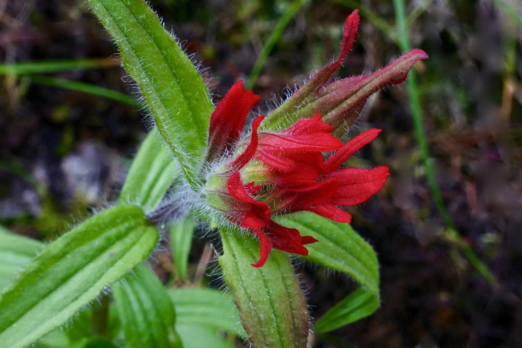 Scarlet Indian Paintbrush