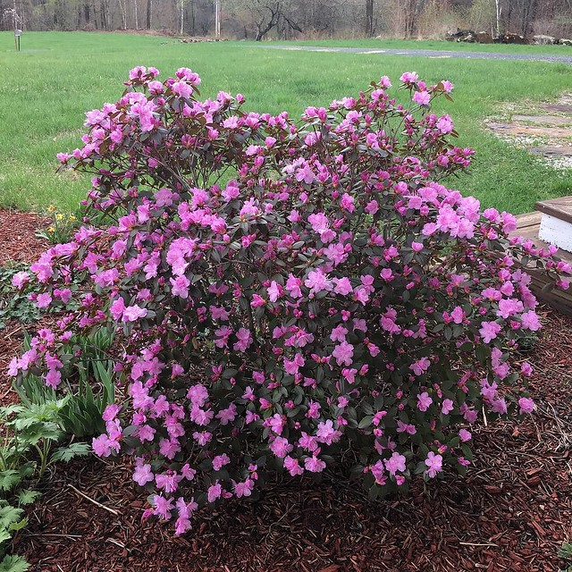 In the 5 years we've lived here, I've never had much luck with the azaleas. Not sure what's different this year but both shrubs are blooming. 👍