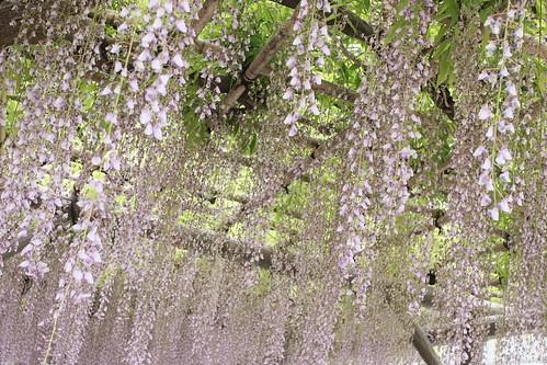 Kameido tenjin wisteria festival 2017 02