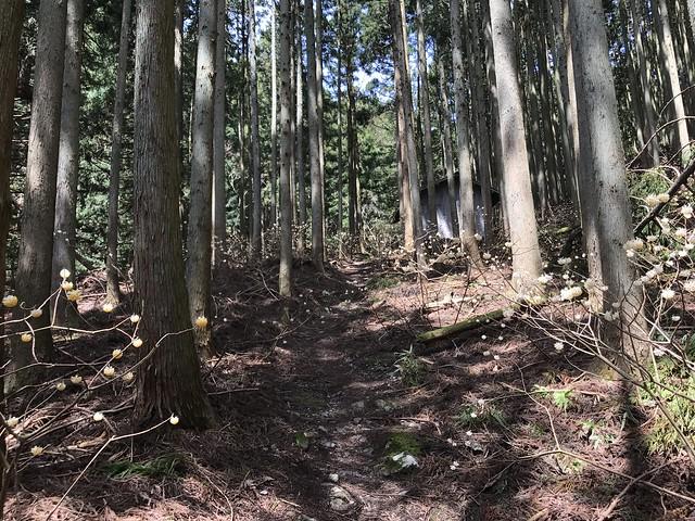 野登山 ミツマタの森 避難小屋