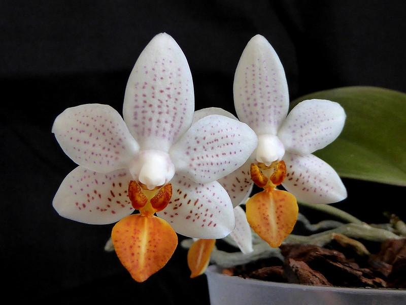 Phalaenopsis Mini Mark - Seite 6 33957185744_f8104eb025_c