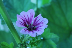 French hollyhock (mallow)