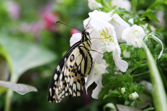 White tropical butterfly