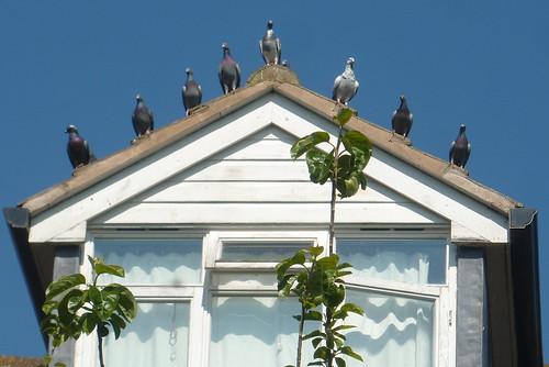 Celia's Pigeons