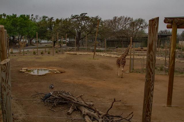Giraffe Yard