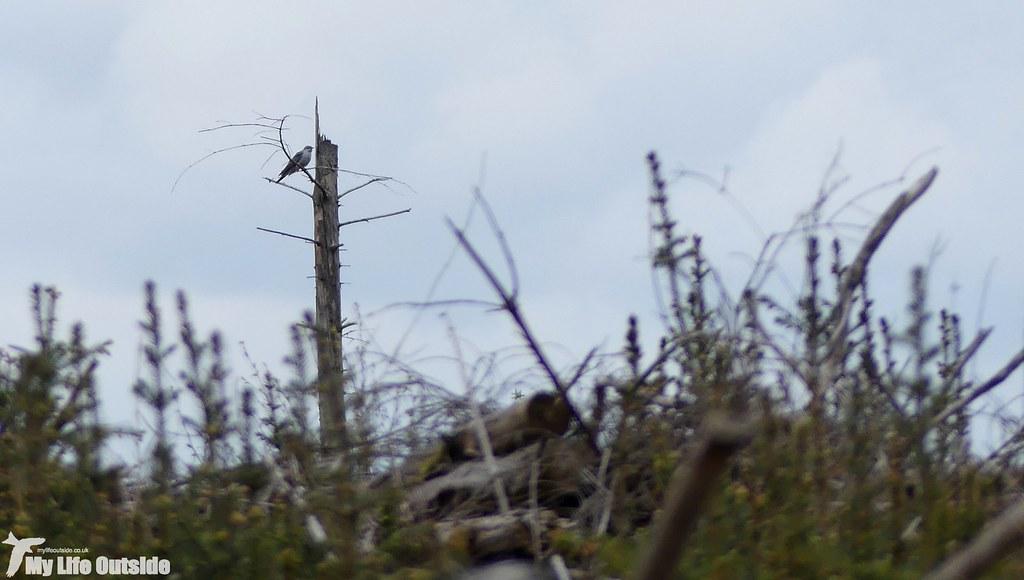 P1070602 - Cuckoo, Llandegla Forest