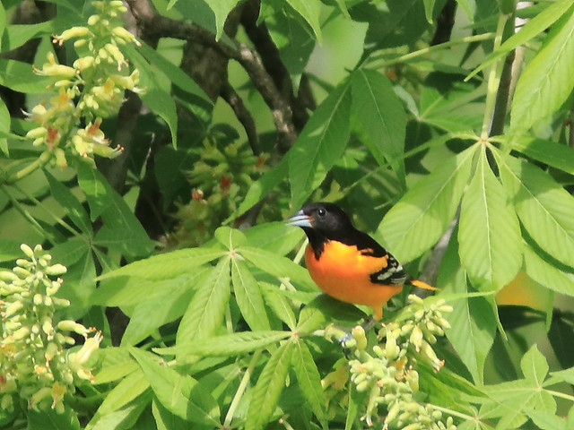 Baltimore Oriole 20170512