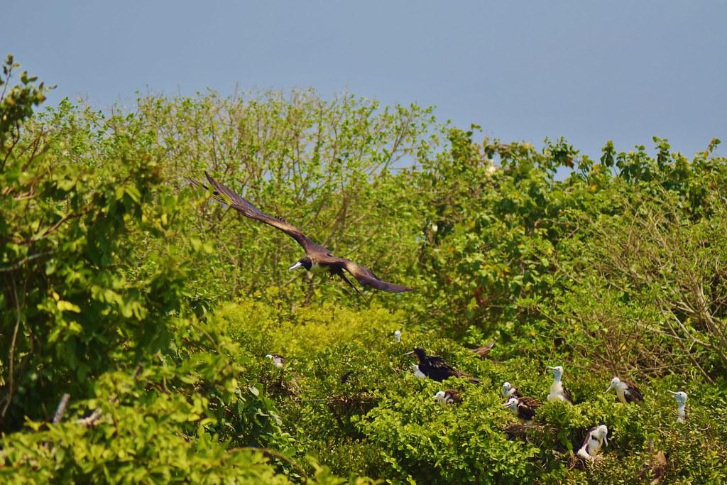 A Frigatebird flying overhead on Half Moon Caye island