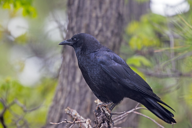 Crow-1-7D2-050917