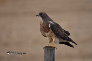 Swainson's Hawk DSC_8911 | by Ron Kube Photography