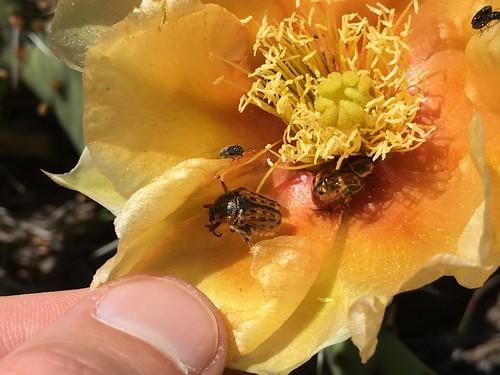 Kern's Flower Scarab (Euphoria kernii) in Opuntia