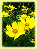 Coreopsis (Calliopsis, Tickseed, Pot Of Gold, Yellow Cosmos)