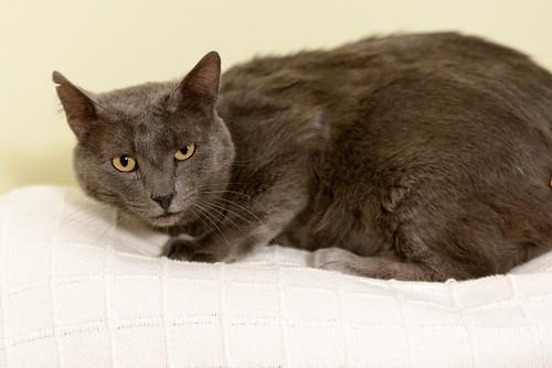 Gris, gato Cruce con Cartujo tímido y tranquilo positivo a inmunodeficiencia nacido en Agosto´15, en ADOPCIÓN ESPECIAL. Valencia. 33870245104_32418b7a91