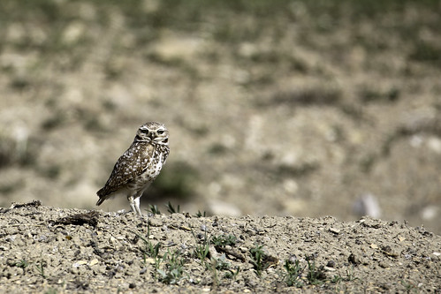 2017 5 14 - Coyote Run Burrowing Owl - 9S3A3344 | by Rags Edward