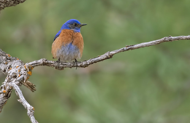 Western-Bird-Bird-69-7D2-042417