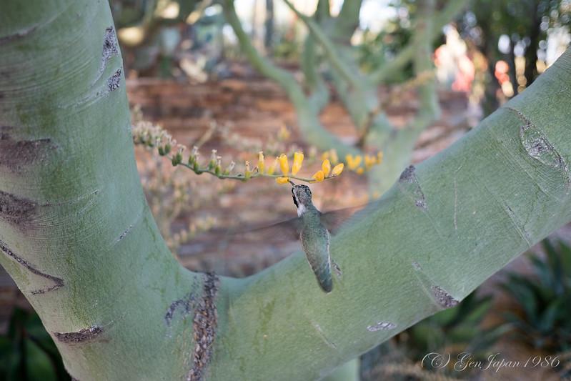 フェニックス 砂漠植物園 ハチドリ