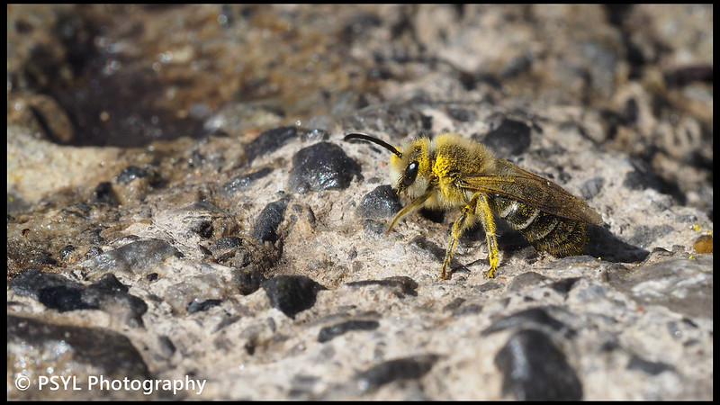 Cellophane bee (Colletes sp.)