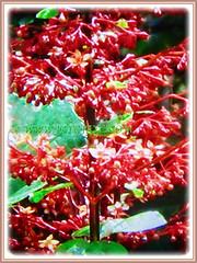 4-angled brownish stems of Clerodendrum paniculatum (Pagoda Flower, Orange Tower Flower, Hanuman Kireetam), 4 May 2017