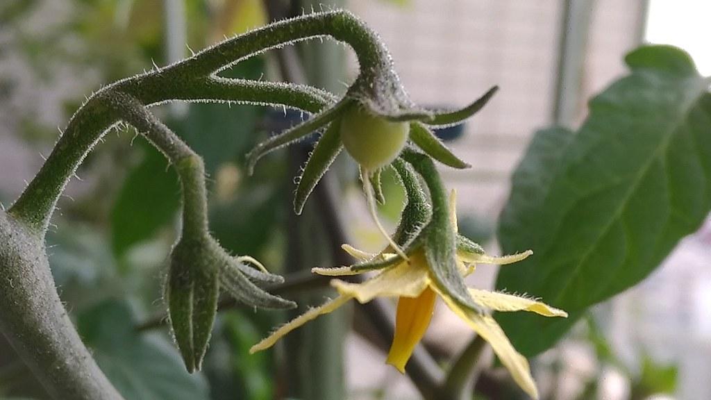太陽の雫の花と実
