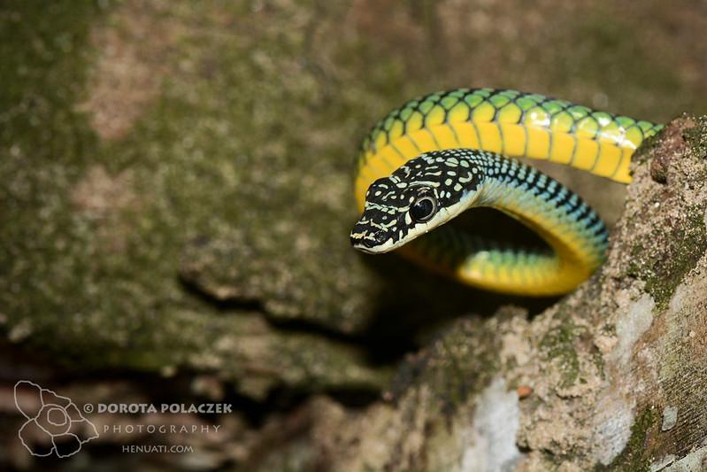 Paradise flying snake (Chrysopelea paradisi)