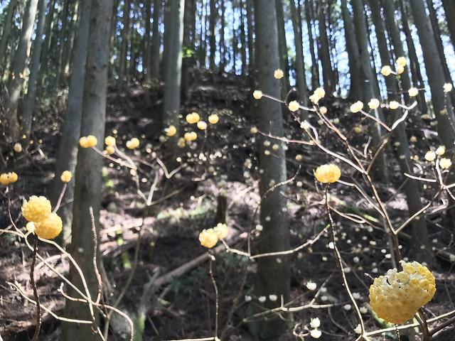 野登山 ミツマタの森 ミツマタ