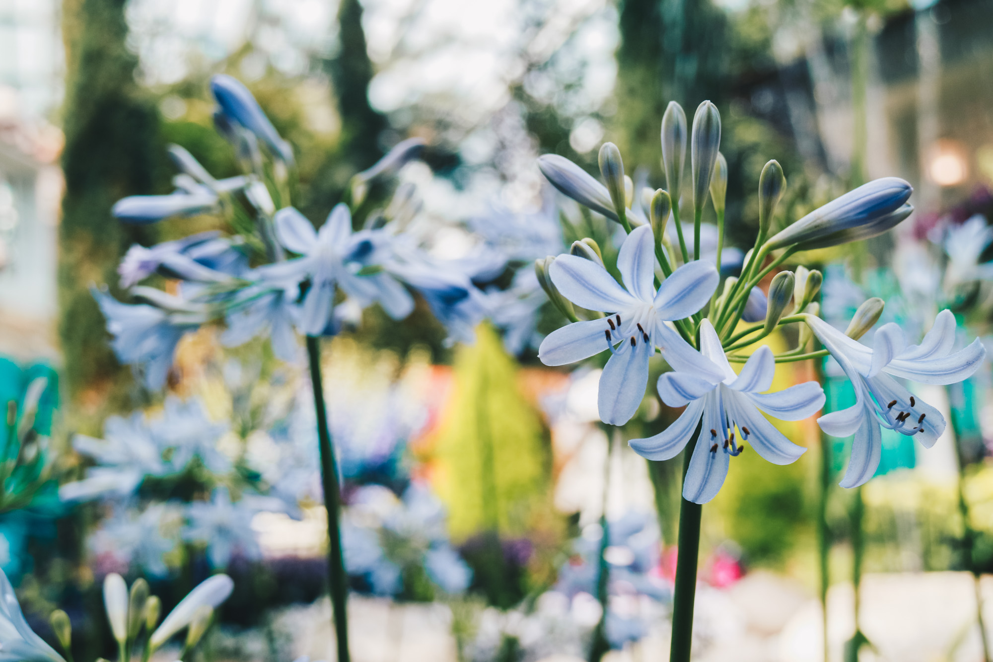 Blue-beauties-floral-display-gardensbythebay-darrenbloggie4