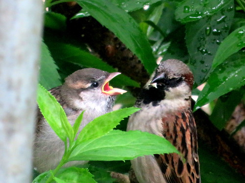 baby sparrow being fed