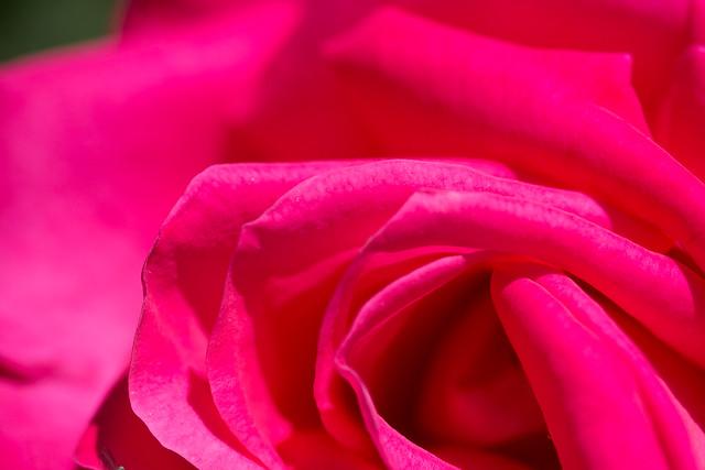 バラ Red Rose