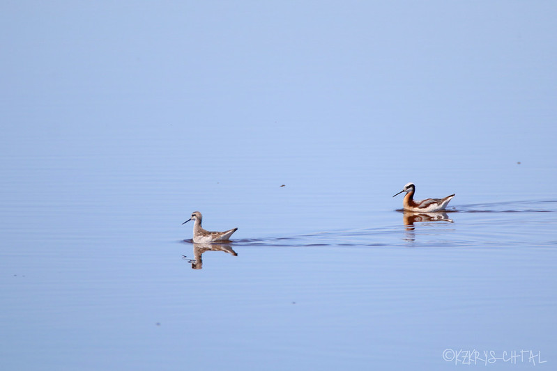 IMG_3084Wilson'sPhalaropes