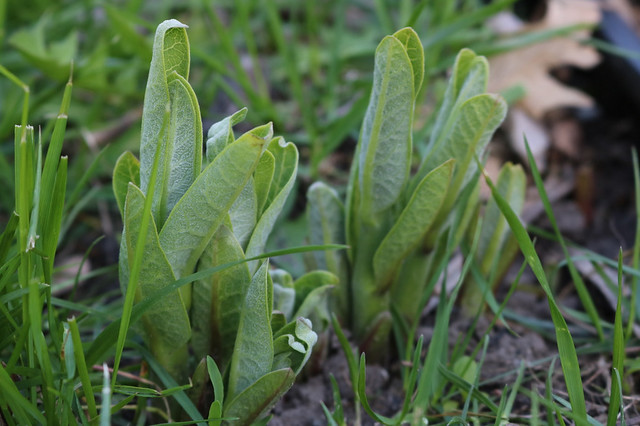 six or so tightly packed, short milkweed stems with new leaves standing straight up