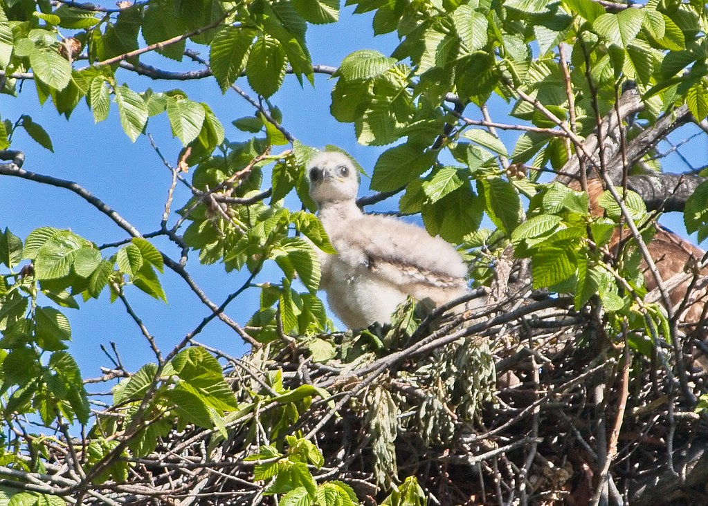 Red-tail nestling